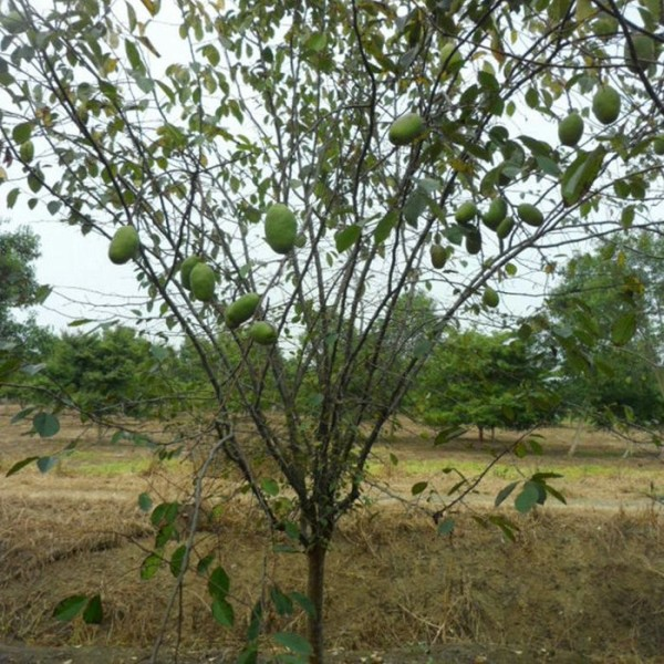 5公分木瓜树价格 江苏木瓜树基地