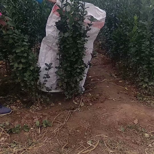 150公分高北海道黃楊價格 江蘇北海道黃楊基地