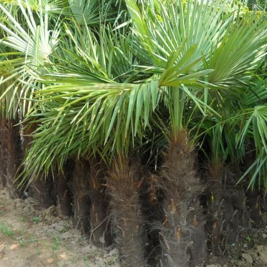 150公分高棕榈树价格 江苏棕榈树基地