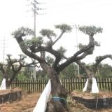 西班牙进口油橄榄树价格 进口西班牙油橄榄树基地