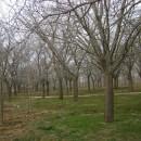 5公分银杏树价格 江苏银杏树基地