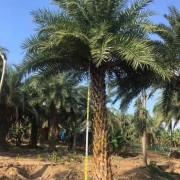 福建中东海枣价格 银海枣基地批发 规格齐全 价格优惠