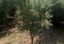 2公分石榴树价格 江苏石榴树基地