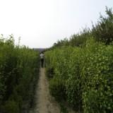 50公分冠幅木槿价格 江苏木槿基地