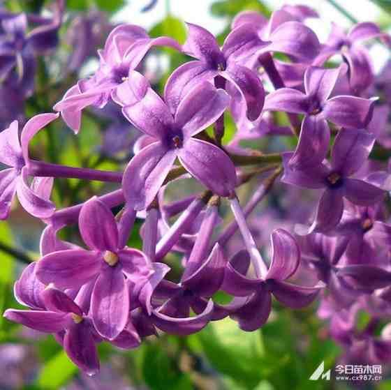 5公分紫丁香价格 江苏紫丁香基地