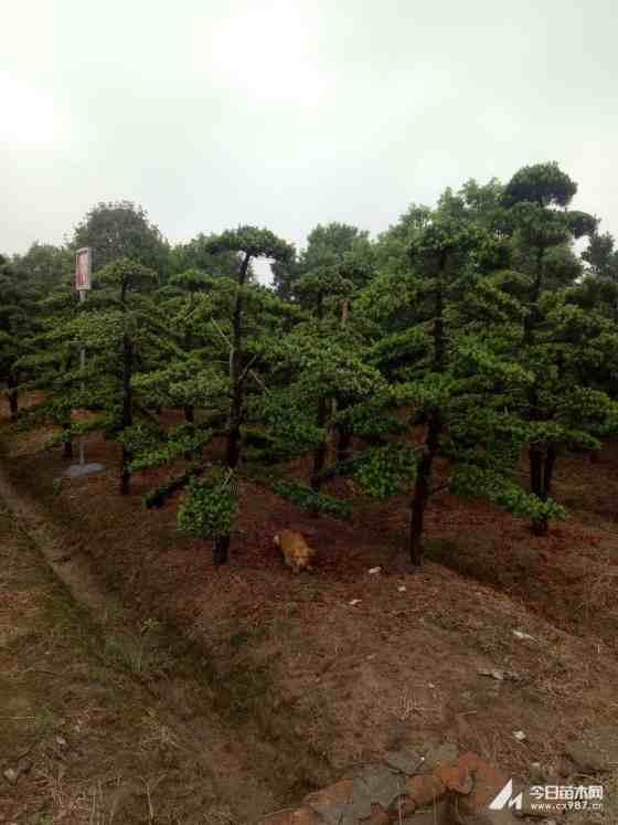 最新罗汉松价格  专业罗汉松种植基地