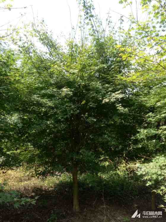 浙江12公分鸡爪槭批发价格 鸡爪槭种植基地