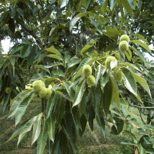 5公分板栗樹價格 江蘇板栗樹基地