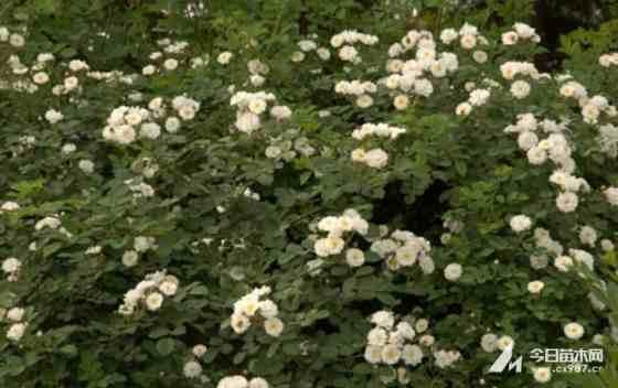 蔷薇价格 江苏蔷薇基地