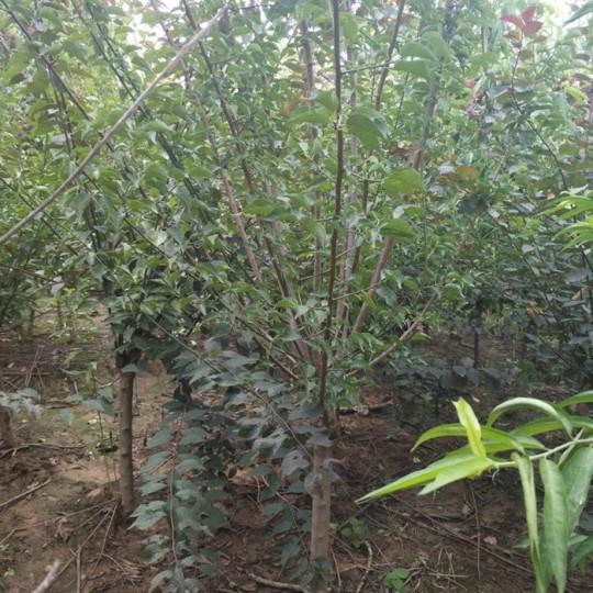 5公分紅梅樹價格 江蘇紅梅樹基地
