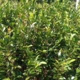 福建宝珠茶花价格 宝珠茶花种植基地