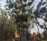 高4米黑松大树价格 山东黑松大树多少钱一棵