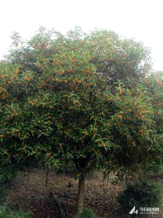 桂花树最新价格 金桂树苗价格