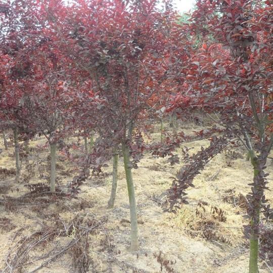 2公分紫葉矮櫻價格 江蘇紫葉矮櫻基地