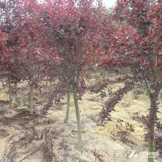 2公分紫叶矮樱价格 江苏紫叶矮樱基地