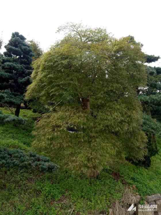 浙江8公分羽毛枫价格 专业羽毛枫种植基地