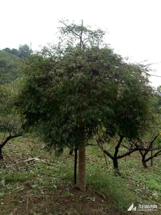 最新羽毛枫价格 羽毛枫图片 羽毛枫种植基地
