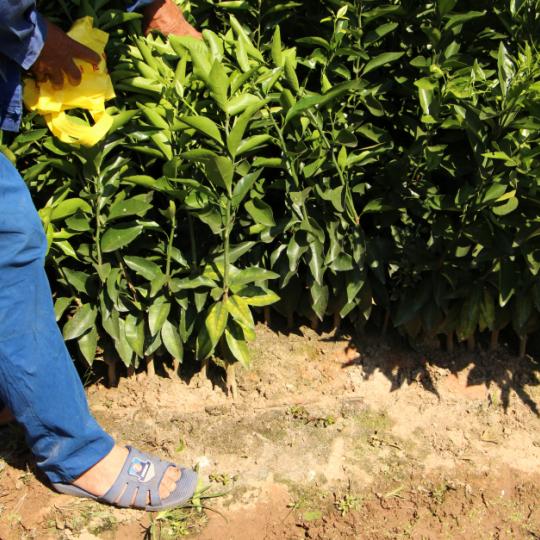 沃柑橘苗價格 浙江沃柑橘苗種植基地