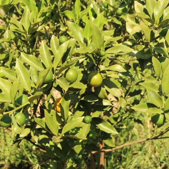 脆皮金桔1-5年苗價格 脆皮金桔種植基地