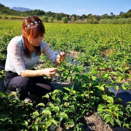 软枣猕猴桃苗子价格 辽宁猕猴桃苗种植基地