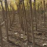 6公分金枝槐价格 河北金枝槐种植基地