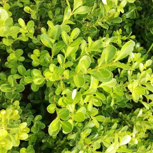 小叶黄杨价格 基地小叶黄杨多少钱