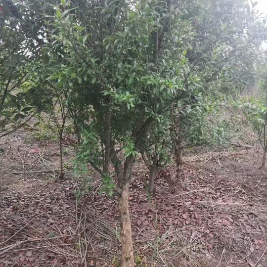 5公分石榴树价格 江苏石榴树基地