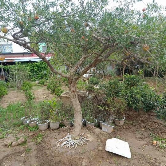 12公分石榴树价格 江苏石榴树基地