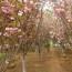 8公分樱花价格 江苏樱花树基地