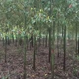 5公分香樟树价格 江苏香樟树基地