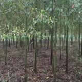 8公分香樟树价格 江苏香樟树基地