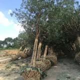 10公分香樟树价格 江苏香樟树基地