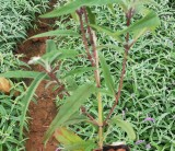 紫柳(墨西哥鼠尾草)基地批发