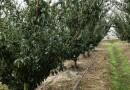 成都10公分李子树价格 李子树新品种