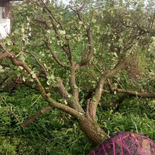 成都4米高杏树苗价格 杏树新品种