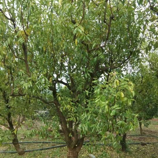 四川成都10公分枣树苗价格 枣树新品种