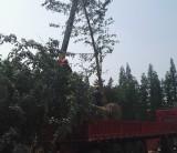 25公分银杏树价格 银杏树苗批发基地