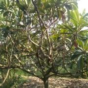 四川地径10公分枇杷树苗价格  四川枇杷树苗种植基地