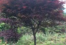 3公分日本红枫价格 江苏日本红枫基地