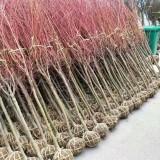 13公分日本红枫价格 江苏日本红枫基地