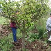 四川成都10公分梨树苗价格  梨树新品种