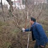 成都4米高樱桃树苗价格 成都樱桃树批发基地