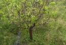梨树苗价格  梨树苗批发采购  梨树苗新品种