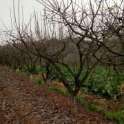 四川柿子树价格 柿子树批发采购 柿树新品种