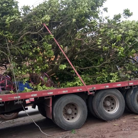 地径20公分柚子树价格 成熟柚子树销售