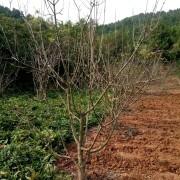 苹果树苗价格 地径10苹果树苗批发价