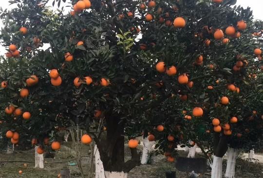 橘子树苗价格  橘子树基地批发直销