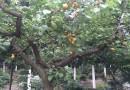 杏子树价格 杏树苗价格 杏树新品种基地批发