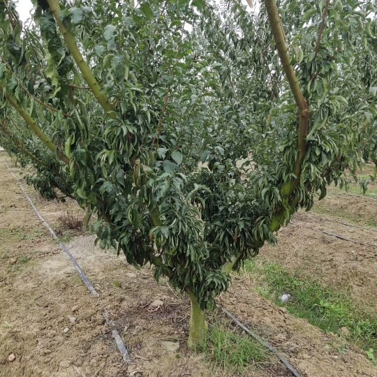 李子树价格行情 李子树品种 成都李子树基地批发