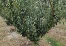 李子樹價格行情 李子樹品種 成都李子樹基地批發